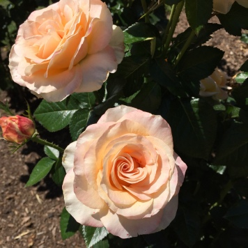 Beautiful peach-colored roses.