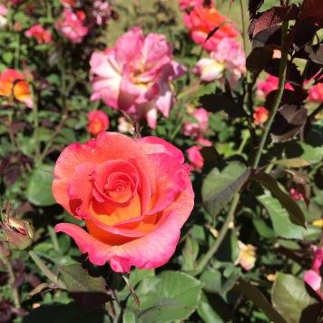Bright pink and orange roses.